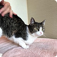 Adopt A Pet :: Lilly - North Las Vegas, NV