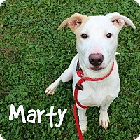 Labrador Retriever/Pit Bull Terrier Mix Dog for adoption in Melbourne, Kentucky - Marty