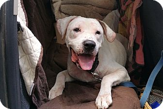 American Bulldog Mix Dog for adoption in Boston, Massachusetts - JACKSON