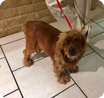 Cocker Spaniel Dog for adoption in Phoenix, Arizona - George