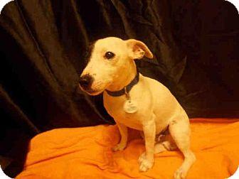 Parson Russell Terrier Dog for adoption in Upper Marlboro, Maryland - BATMAN