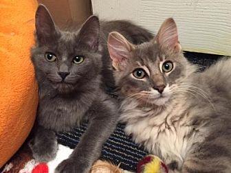 Domestic Shorthair Kitten for adoption in Cleveland, Ohio - Midas
