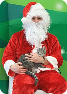 Domestic Shorthair Cat for adoption in Burlington, Washington - Mimi