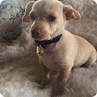 Dachshund/Chihuahua Mix Puppy for adoption in Fresno, California - Cannoli