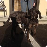 Coonhound (Unknown Type) Mix Dog for adoption in Cashiers, North Carolina - Lavernne