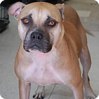 Adopt A Pet :: Scout - Brooklyn, NY