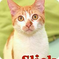 Adopt A Pet :: Slick - Sarasota, FL