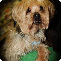 Adopt A Pet :: Brody - N. Babylon, NY