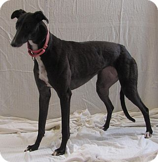 Greyhound Dog for adoption in Swanzey, New Hampshire - Beanie