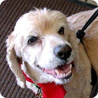 Cocker Spaniel Dog for adoption in Sacramento, California - Sam