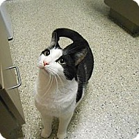 Adopt A Pet :: Link - Maywood, NJ