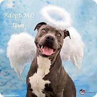 Adopt A Pet :: Blue - Acton, CA