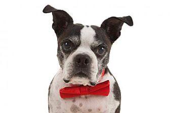 Boston Terrier Dog for adoption in Huntington Beach, California - Eddie