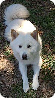 Samoyed Mix Dog for adoption in Deltona, Florida - Yeti