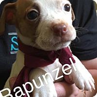 Adopt A Pet :: Repunzel - Charlotte, NC