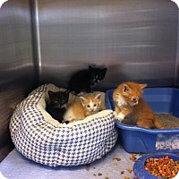 Adopt A Pet :: Kittens assortment (WG) - Oviedo, FL