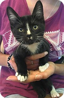 Domestic Shorthair Cat for adoption in Menifee, California - Luke