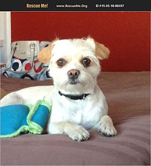 Cairn Terrier/Maltese Mix Dog for adoption in PHOENIX, Arizona - Peaches