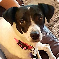 Rat Terrier Mix Dog for adoption in Fresno, California - Tabitha