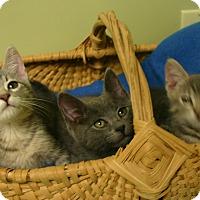 "Adopt A Pet :: Superman ""Kitten"" - Hastings, NE"