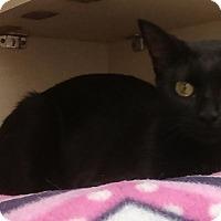 Domestic Shorthair Kitten for adoption in Naperville, Illinois - Sukie-10 MONTHS