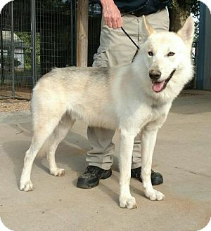 Husky/Shepherd (Unknown Type) Mix Dog for adoption in Longview, Texas - Apollo