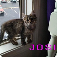 Adopt A Pet :: Josi $85 Female Kitten - knoxville, TN