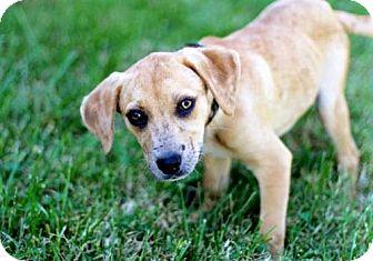 Labrador Retriever Mix Puppy for adoption in Norfolk, Virginia - PUPPY CRISSY