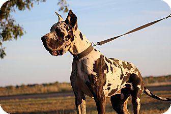 Great Dane Dog for adoption in Lubbock, Texas - Duke