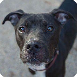 Labrador Retriever/Boxer Mix Dog for adoption in Decatur, Georgia - LITTLE LAMB