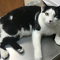 Domestic Shorthair Cat for adoption in Royal Palm Beach, Florida - AMARI - COURTESY LIST