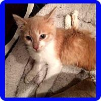 Adopt A Pet :: Butterscotch - Mt. Clemens, MI