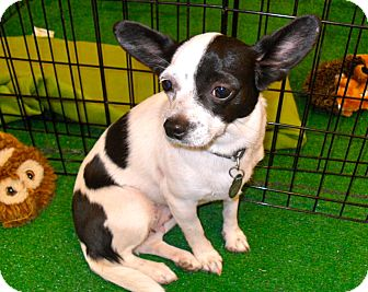 Chihuahua/Papillon Mix Dog for adoption in Phoenix, Arizona - Tia