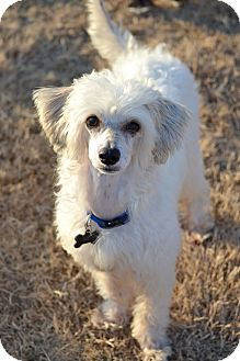 Chinese Crested Mix Dog for adoption in Marietta, Georgia - Journey