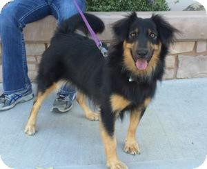 Australian Shepherd/German Shepherd Dog Mix Dog for adoption in Phoenix, Arizona - Gaia