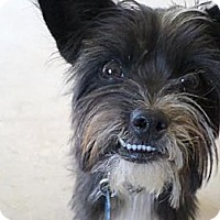 Miniature Schnauzer/Terrier (Unknown Type, Medium) Mix Dog for adoption in Madera, California - Princess Cookie