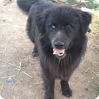 Adopt A Pet :: Dixie - Red Bluff, CA