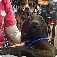Adopt A Pet :: Buzz - Pocahontas, AR