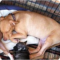 Adopt A Pet :: Petey - North Hollywood, CA