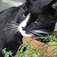 Domestic Mediumhair Cat for adoption in Monrovia, California - Barkley