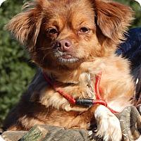 Adopt A Pet :: Roxanne(15 lb) A Sweetheart! - Sussex, NJ