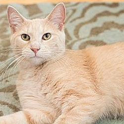 Photo 4 - Domestic Shorthair Cat for adoption in Chicago, Illinois - Nathaniel