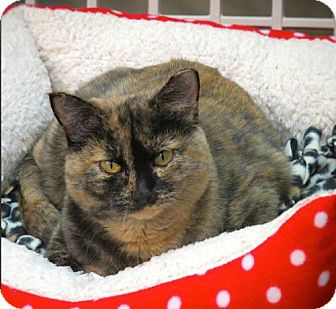 Domestic Shorthair Cat for adoption in Lakewood, Colorado - Tootie