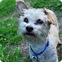 Adopt A Pet :: Ivan - Encino, CA