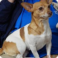Adopt A Pet :: Sissy(8 lb) New Pics & Video - SUSSEX, NJ