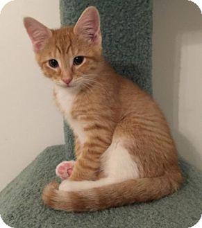 Domestic Shorthair Kitten for adoption in Herndon, Virginia - Chili