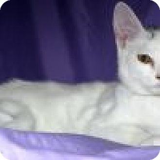 Domestic Shorthair Cat for adoption in Powell, Ohio - Salina