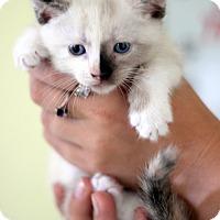 Adopt A Pet :: Daisy - Dalton, GA