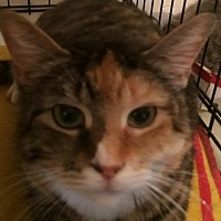 Domestic Shorthair Cat for adoption in Montreal, Quebec - Sissy