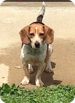 Beagle Mix Dog for adoption in Crystal Lake, Illinois - Blunder